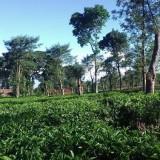 penginapan dan tiket masuk agrowisata kebun teh wonosari malang